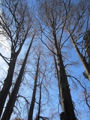 落羽松という杉です