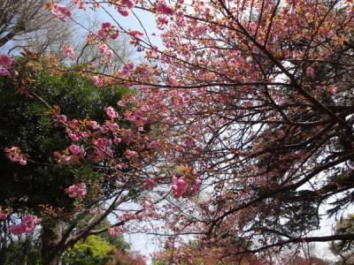 ピンク色が濃い 八重桜
