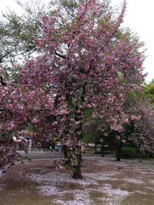 カンザン桜