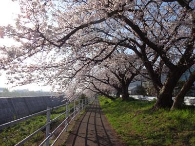 3/31 近所のサイクリングロード(平塚)