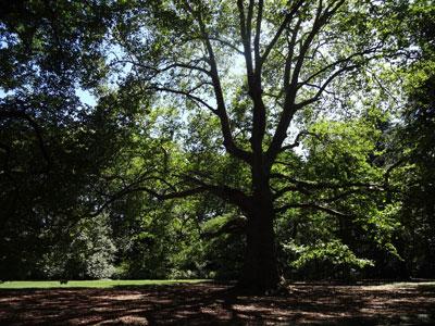 モミジバスズカケの木